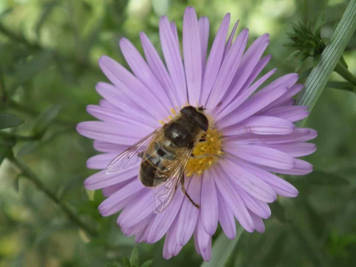 pólen, natureza, inseto, flor, verão, flora, abelha, planta