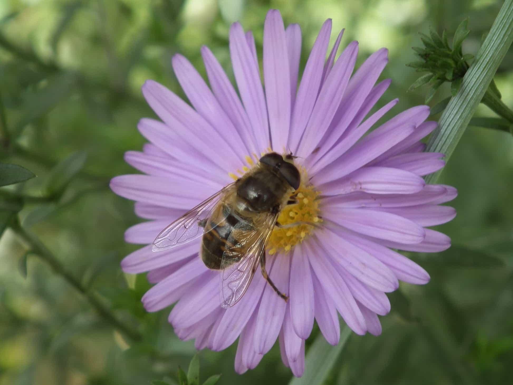Kostenlose bild pollen natur insekten blumen sommer for Ahuyentar abejas jardin