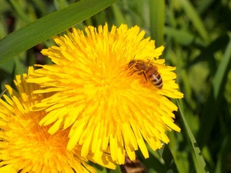 bee, macro, summer, nature, flora, flower, insect, plant, herb, dandelion