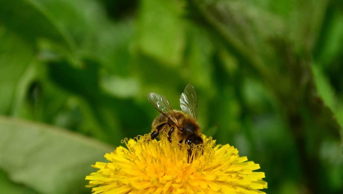 rovar, nyári, méhek, pollen, beporzás, természet, gyógynövény, pitypang