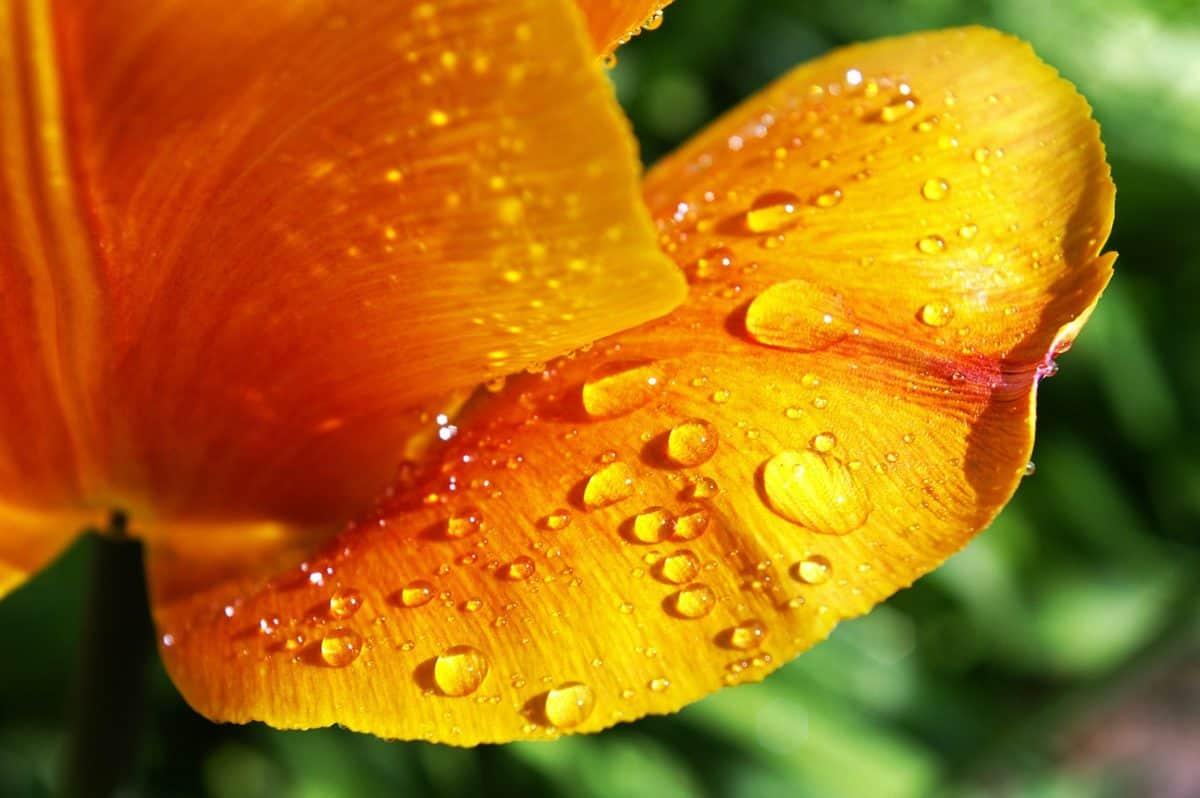 dauw, regen, Tuin, flora, bloem, natuur, blad, kruid, plant, organisme