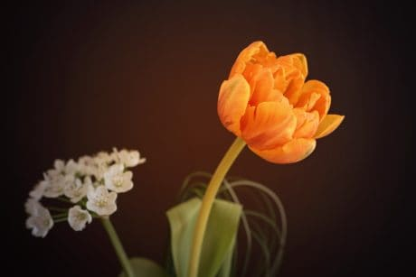 flora, flower, leaf, nature, tulip, petal, photo studio, plant, blossom