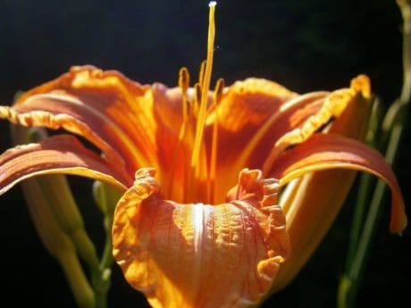 macro, nectar, pistill, pollen, flower, flora, nature, lily, plant