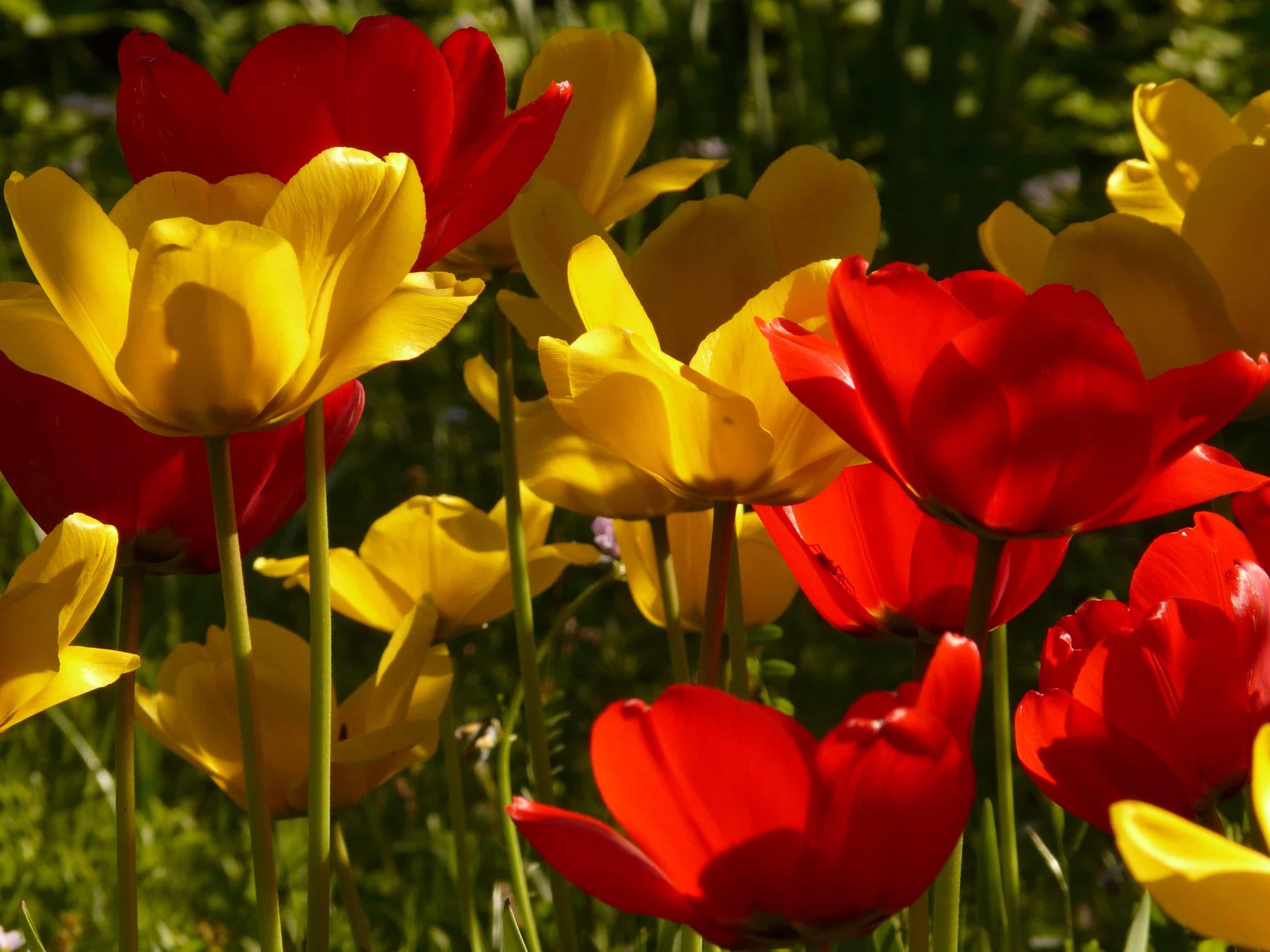tulipe 18