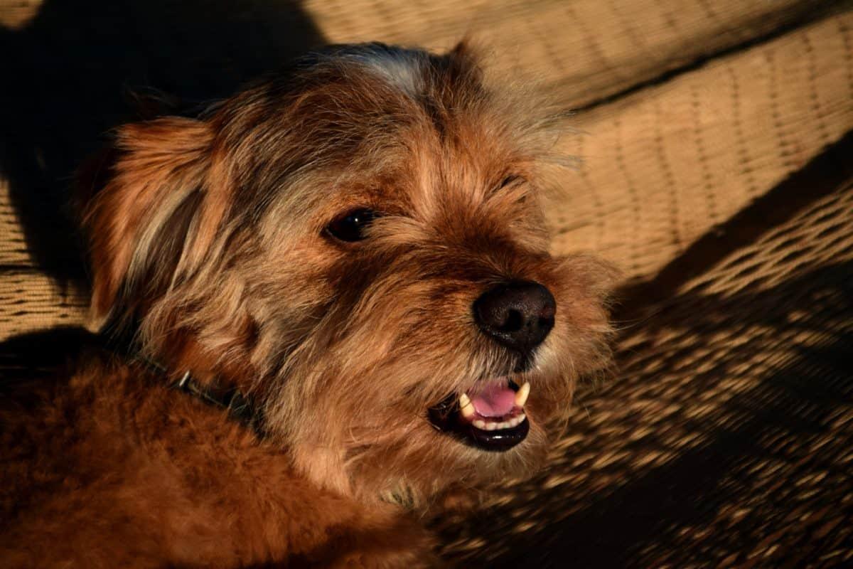 かわいい、動物、ペット、犬、犬、テリア、毛皮、子犬、屋内