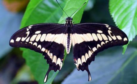 papillon, macro, faune, insectes, été, nature, herbe, plante