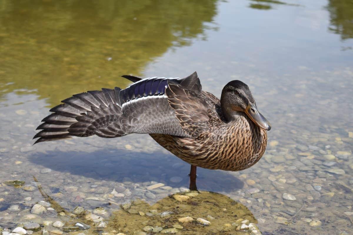 See, Vogel, Tiere, Natur, Wasservögel, Ente, Tier, Wasser