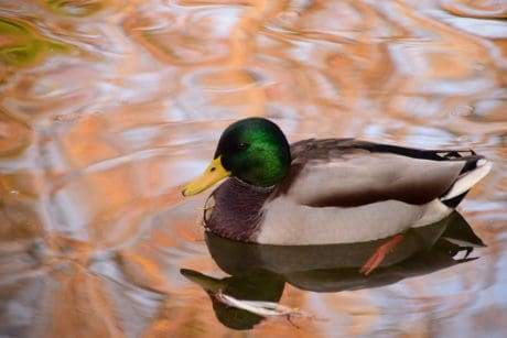 bird, poultry, duck, lake, waterfowl, wildlife, pond, water