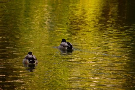 bird, reflection, lake, duck, water, waterfowl, river, pond