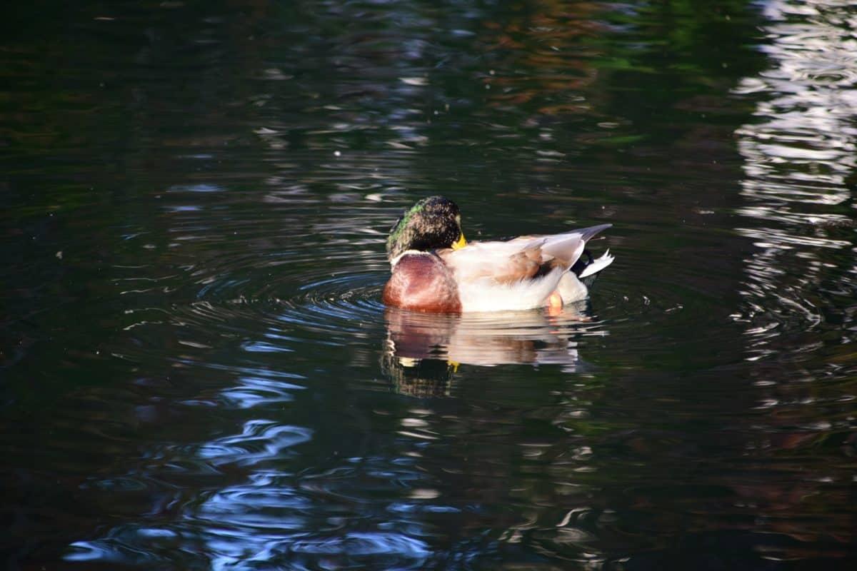 waterfowl, mallard, bird, water, lake, duck, wildlife, river