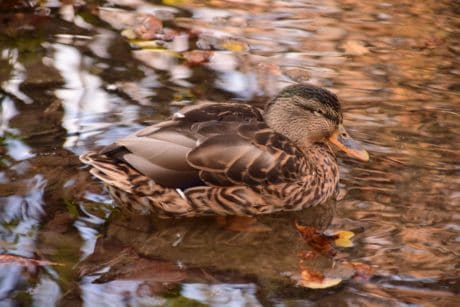 bird, wildlife, lake, water, waterfowl, duck, mallard, nature