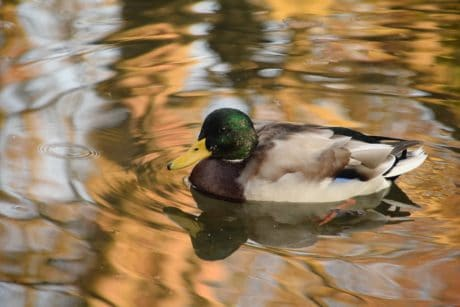 mallard, waterfowl, poultry, bird, wildlife, duck, lake, water