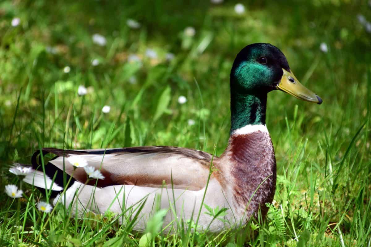 nature, wildlife, grass, bird, duck, animal, waterfowl, feather