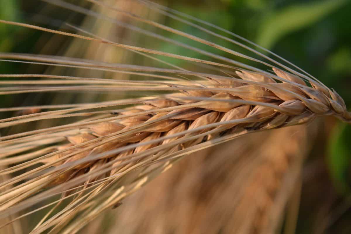 호 밀, 식품, 씨앗, 곡물, 농업