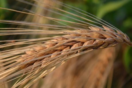 straw, rye, food, seed, cereal, agriculture