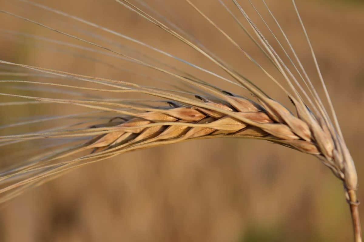 cereal, semilla, campo, agricultura, cebada, paja