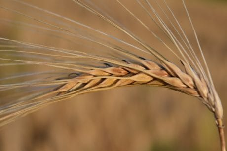 cereal, seed, field, agriculture, barley, straw