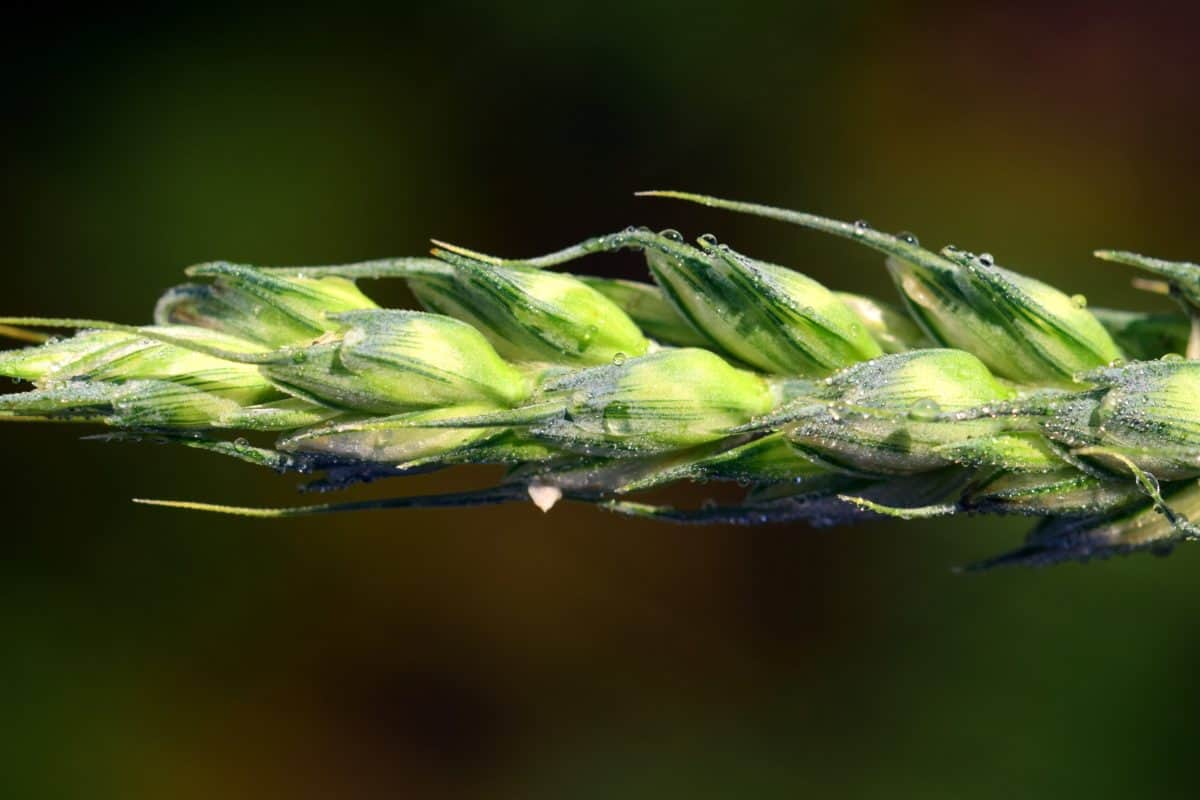 planta, flora, macro, verde, cereales, agricultura, núcleo