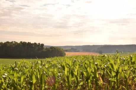 summer, field, daylight, corn field, agriculture, countryside, nature, landscape