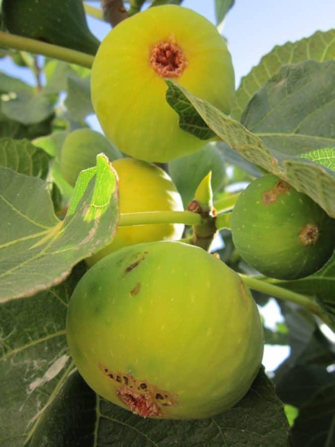 nourriture, nature, feuilles, fig, fruit, arbre