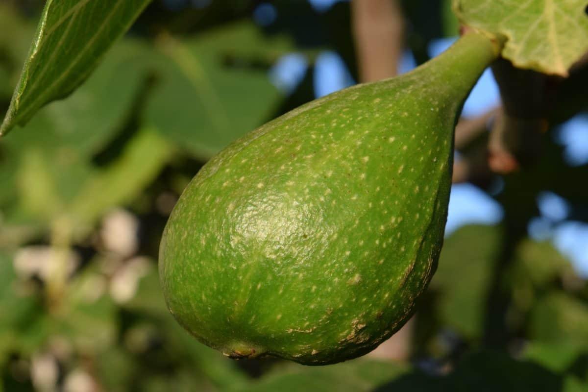 листья, природа, фрукты, еда, инжир, питания, органических, дерево, зеленый