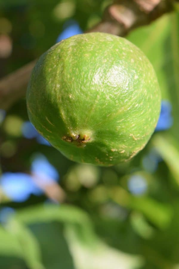 fruit, leaf, nature, food, fig, tree, outdoor, green leaves
