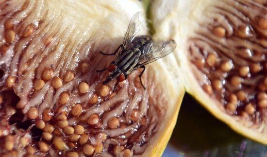 Essen, süß, Feigen, Insekten, fliegen
