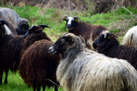 animal, sheep, ram, grass, livestock, field, outdoor