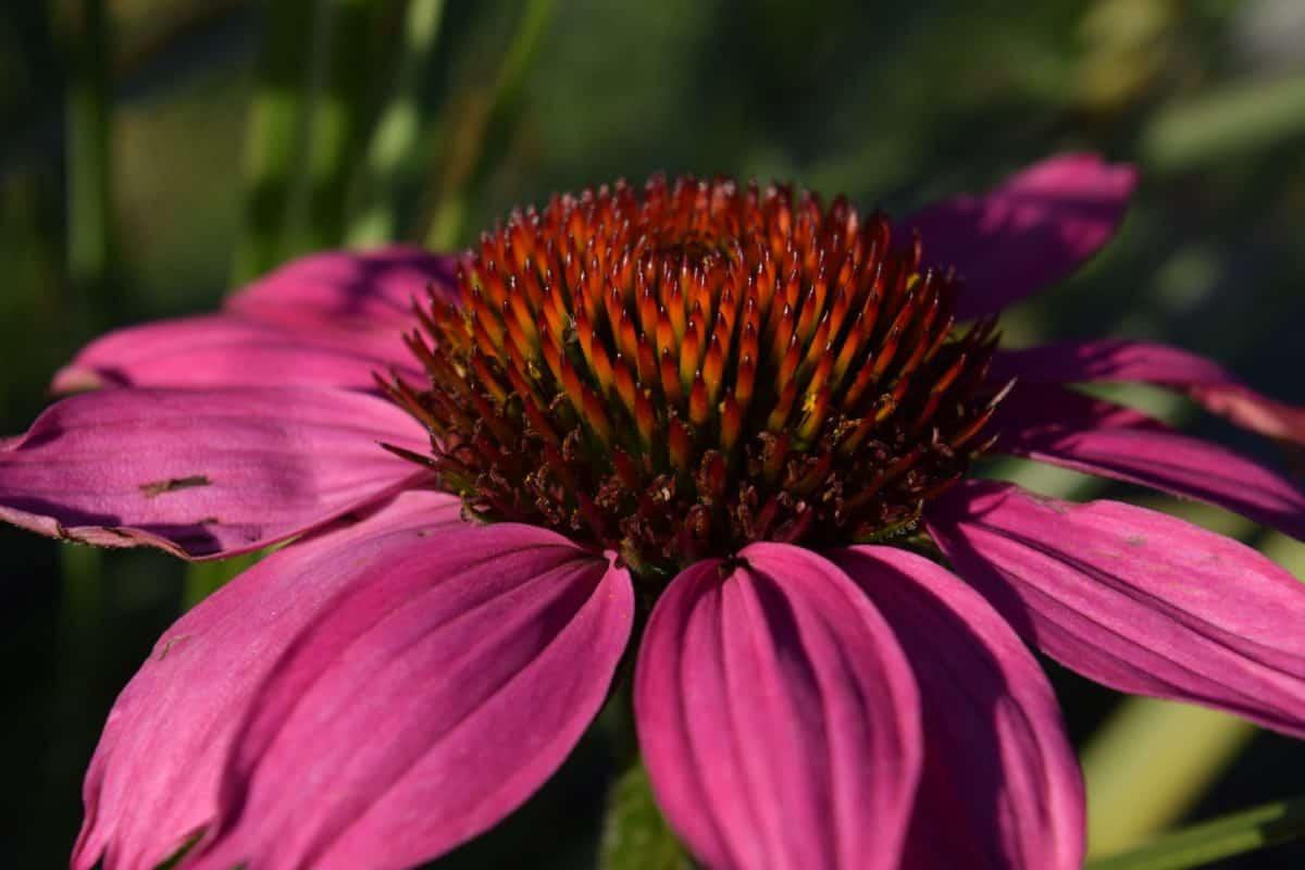 summer, wildflower, flora, garden, nature, petal, macro