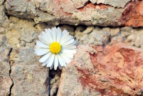 nature, daisy, flower, plant, blossom, still life, wall, brick, petal, bloom