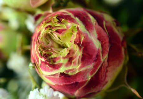 Rose, feuille, fleur, nature, plante, pétale, rose, fleur, jardin