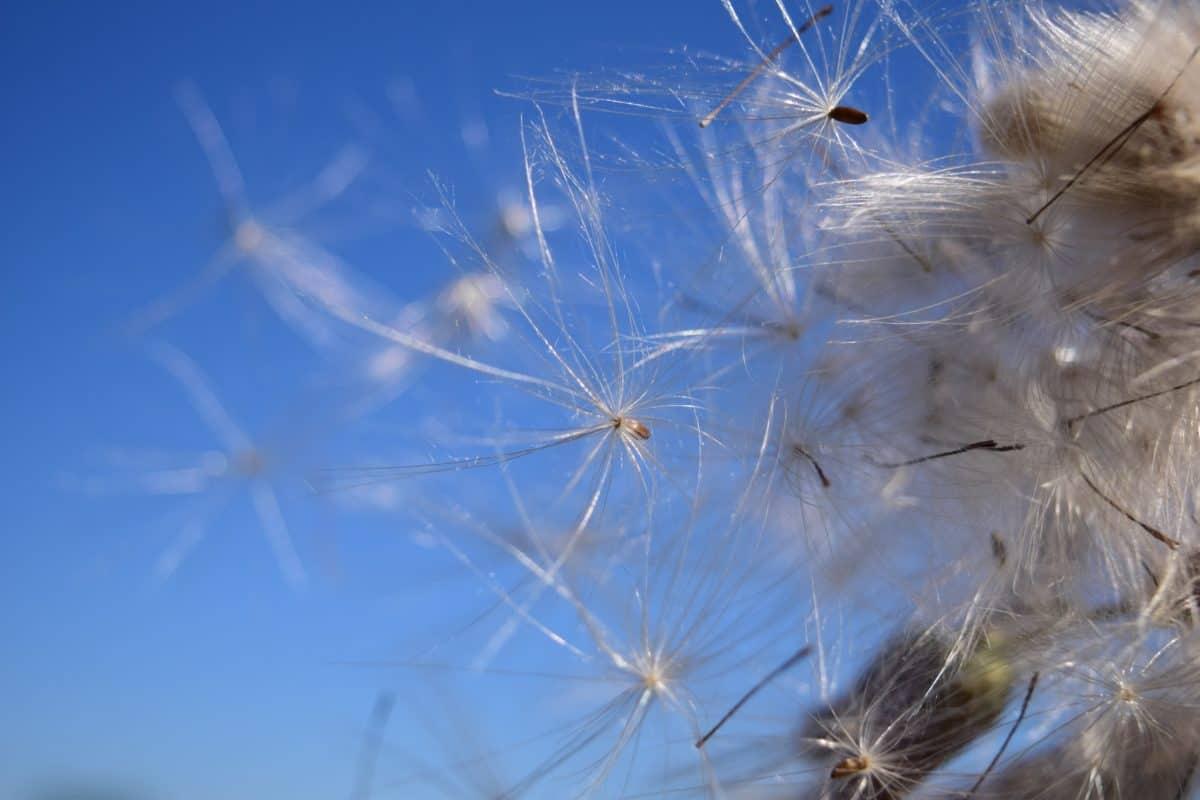 nature, été, pissenlit, graines, plante, fleur, flore