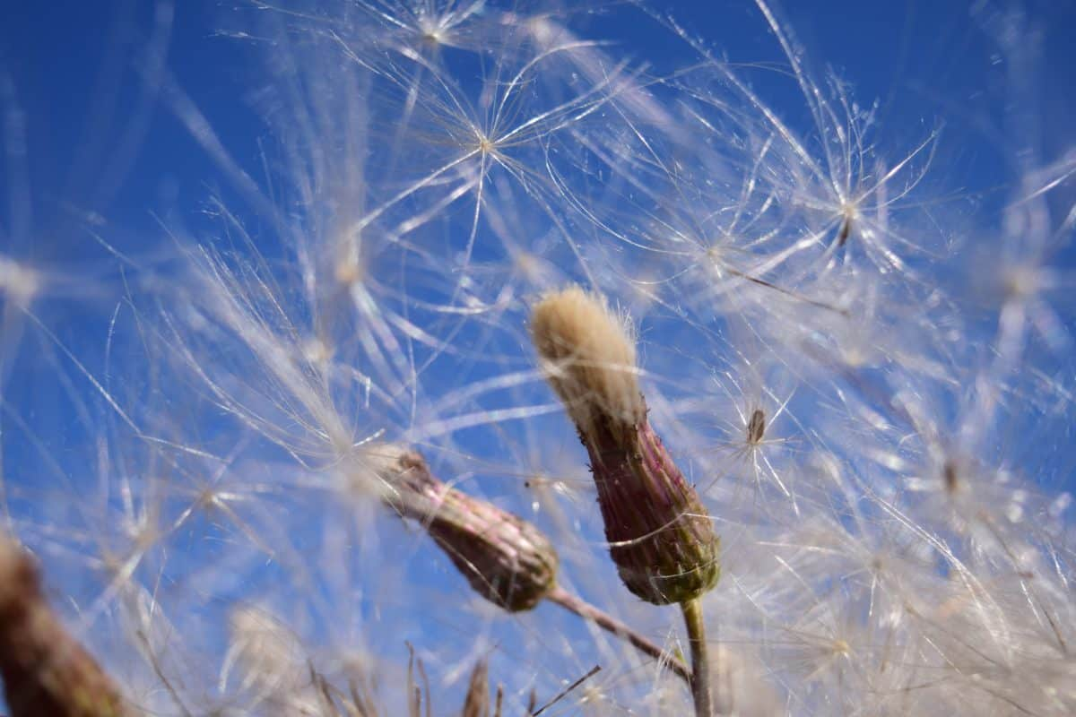 naturaleza, semillas, plantas, verano, diente de León, flor, flora