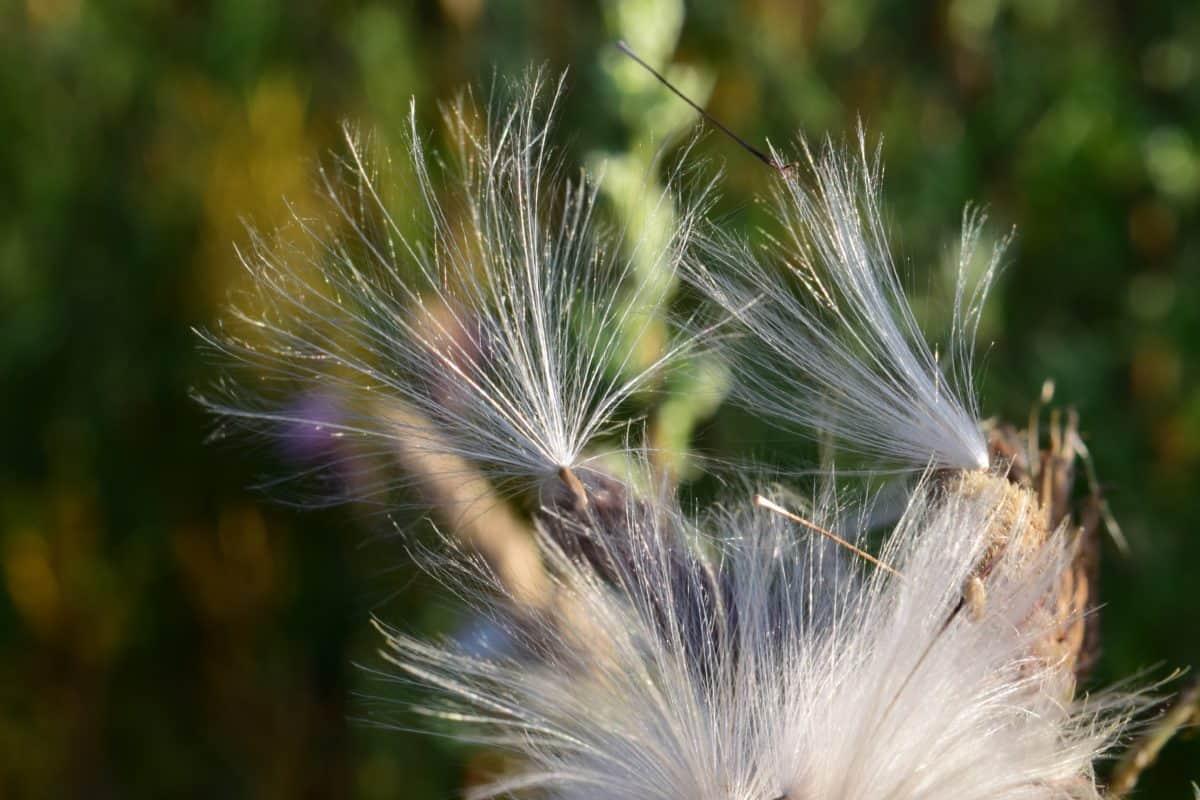 nature, flower, flora, dandelion, seed, plant