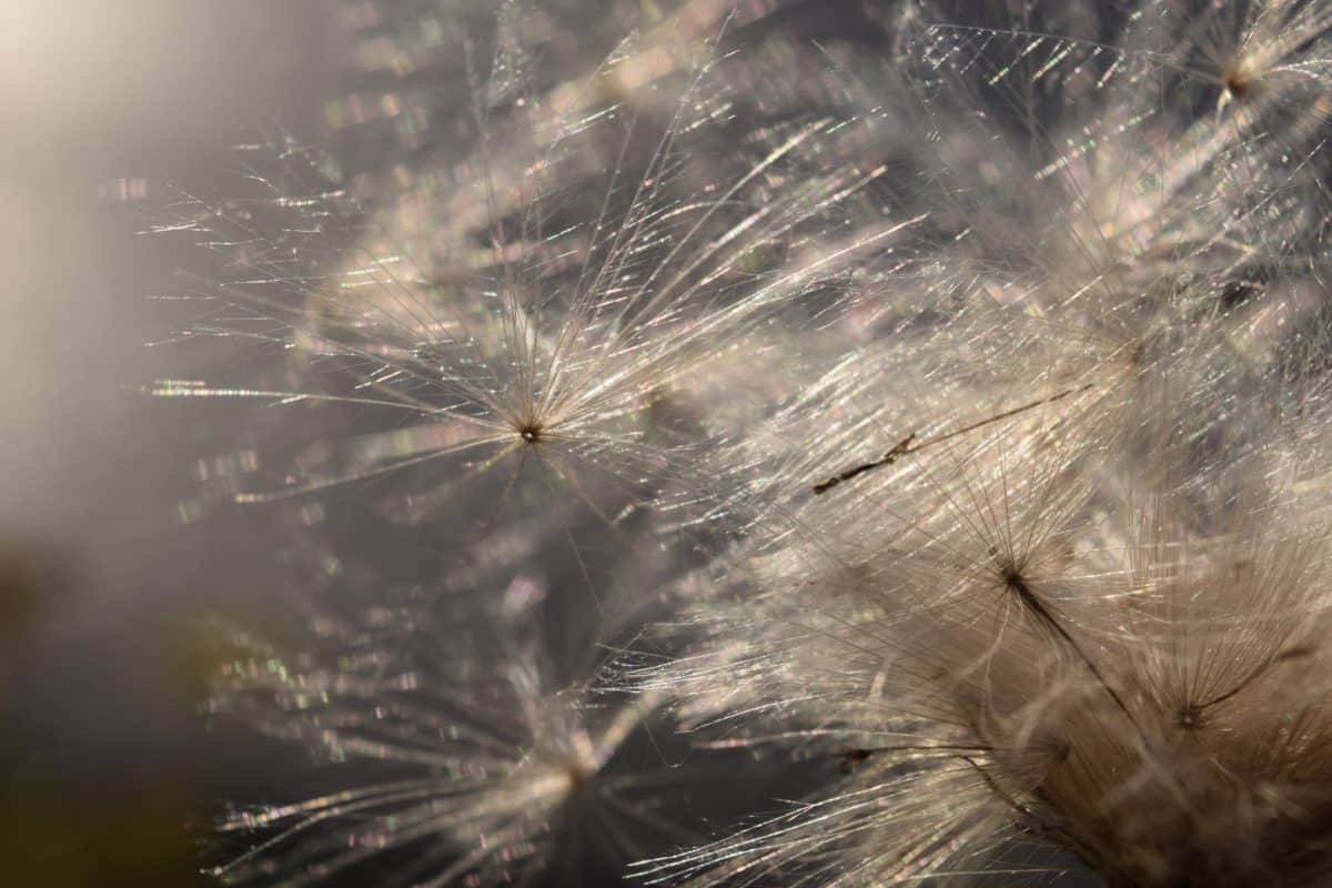flora, diente de León, semilla, planta, naturaleza, flor