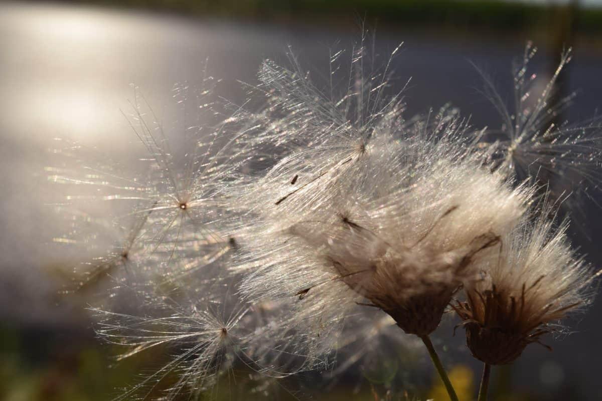 pissenlit, graines, flore, plante, nature, fleur