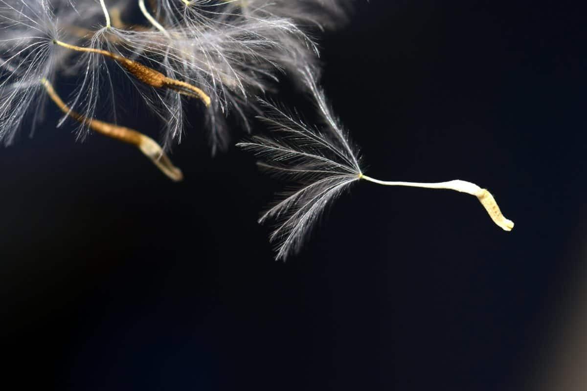 pissenlit, graines, plante, fleur, nature