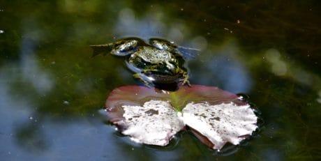 rana, luz natural, al aire libre, lago, naturaleza, agua, anfibios