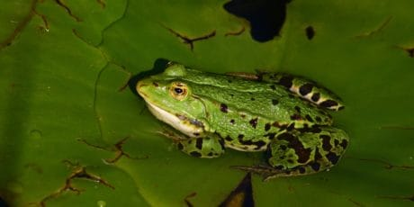 Frosch, Natur, Amphibien, Auge, Tierwelt, Tier, grün, Makro