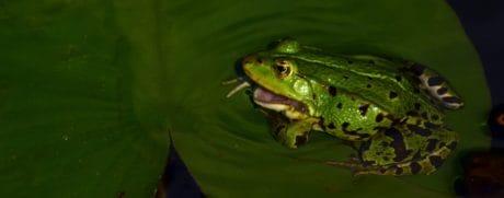 amphibiens, feuille, grenouille, oeil, la faune, animal, feuille verte, exotique