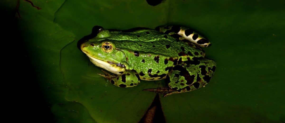 Natur, Frosch, Amphibien, Makro, Tierwelt, Auge, Tier, grünes Blatt