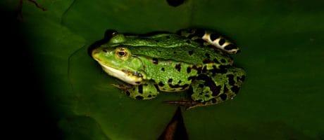 natura, rana, anfibio, macro, fauna selvatica, occhio, animale, verde foglia