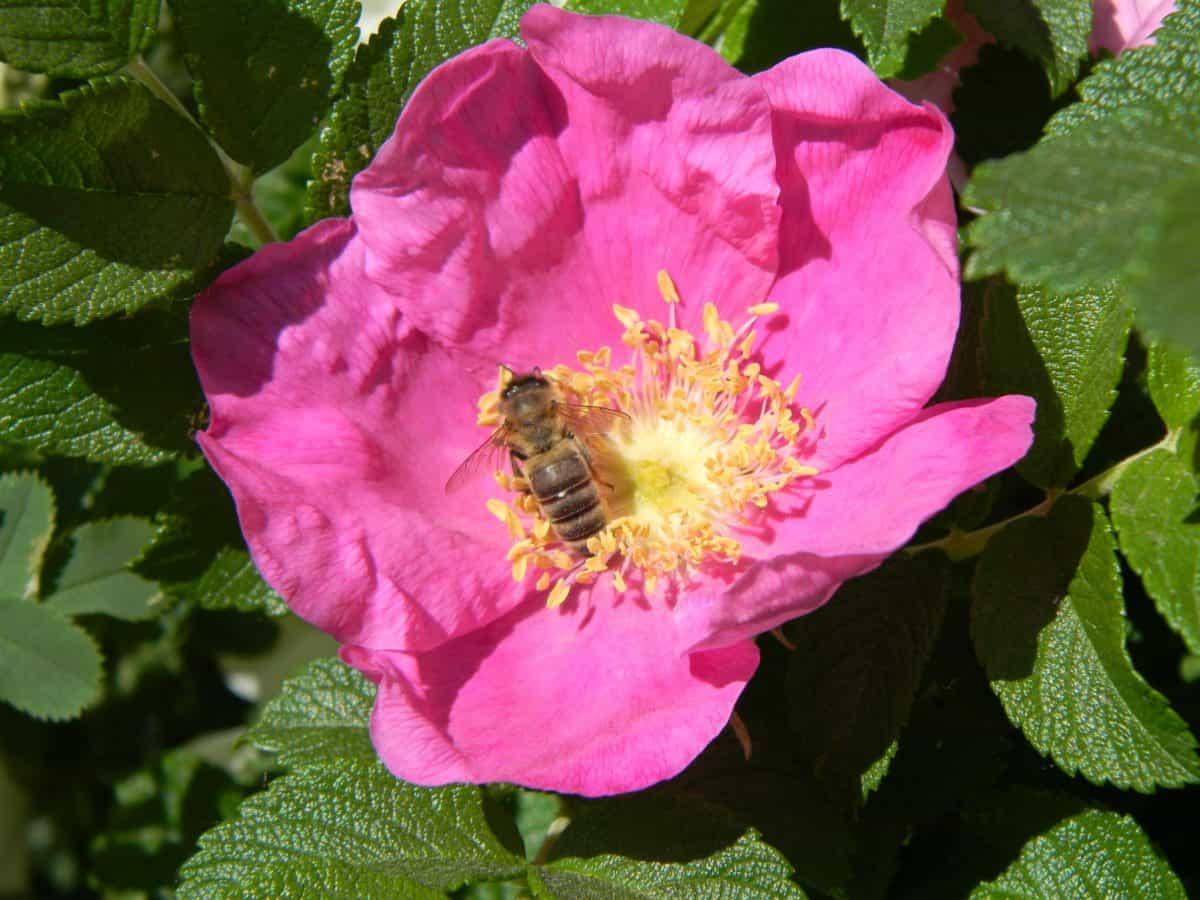 flore, nature, été, jardin, feuille, fleur, rose sauvage, plante