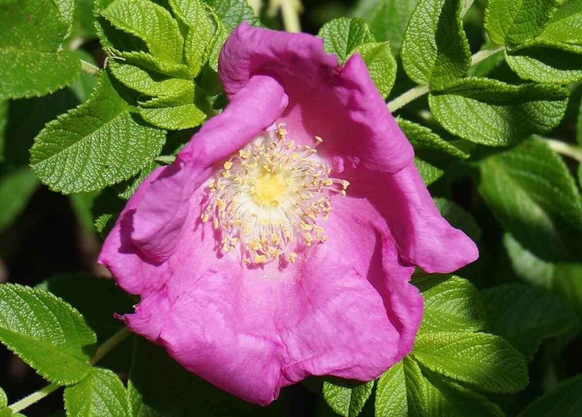 nature, feuilles, été, rose sauvage, fleurs sauvages, jardin, flore, plante