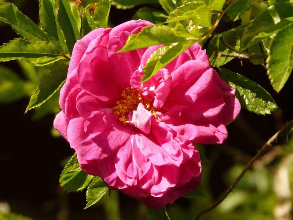 fleurs sauvages, l'été, nature, feuilles, rose sauvage, jardin, flore, pétale