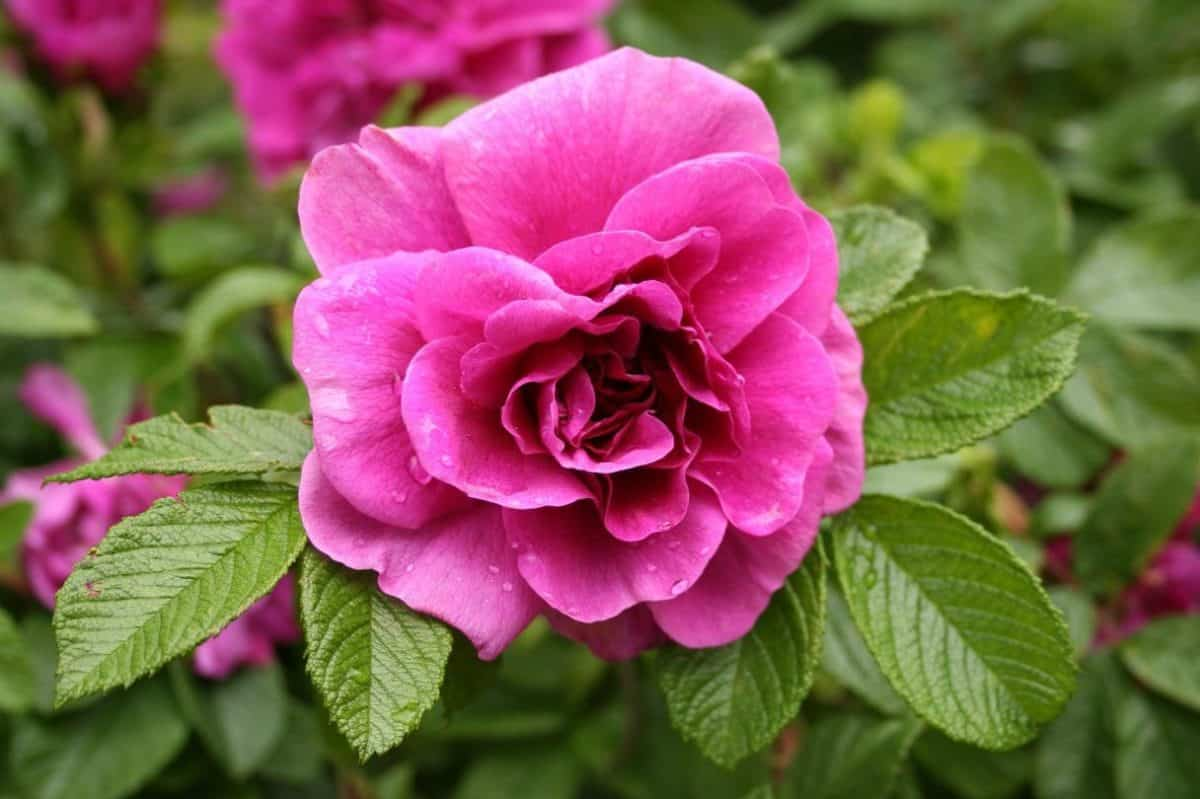 jardín, flora, flores silvestres, rosa salvaje, naturaleza, verano, hoja, planta