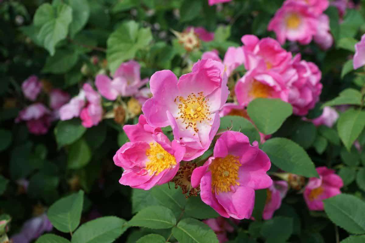 verano, flor, hoja, jardín, naturaleza, rosa, planta, colorido