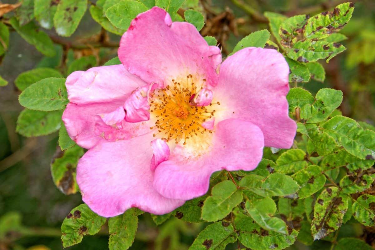 flore, nature, feuilles, été, écologie, églantier, jardin, fleur, plante