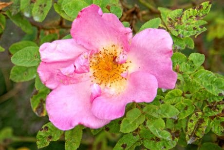 flora, nature, leaf, summer, ecology, wild rose, garden, flower, plant