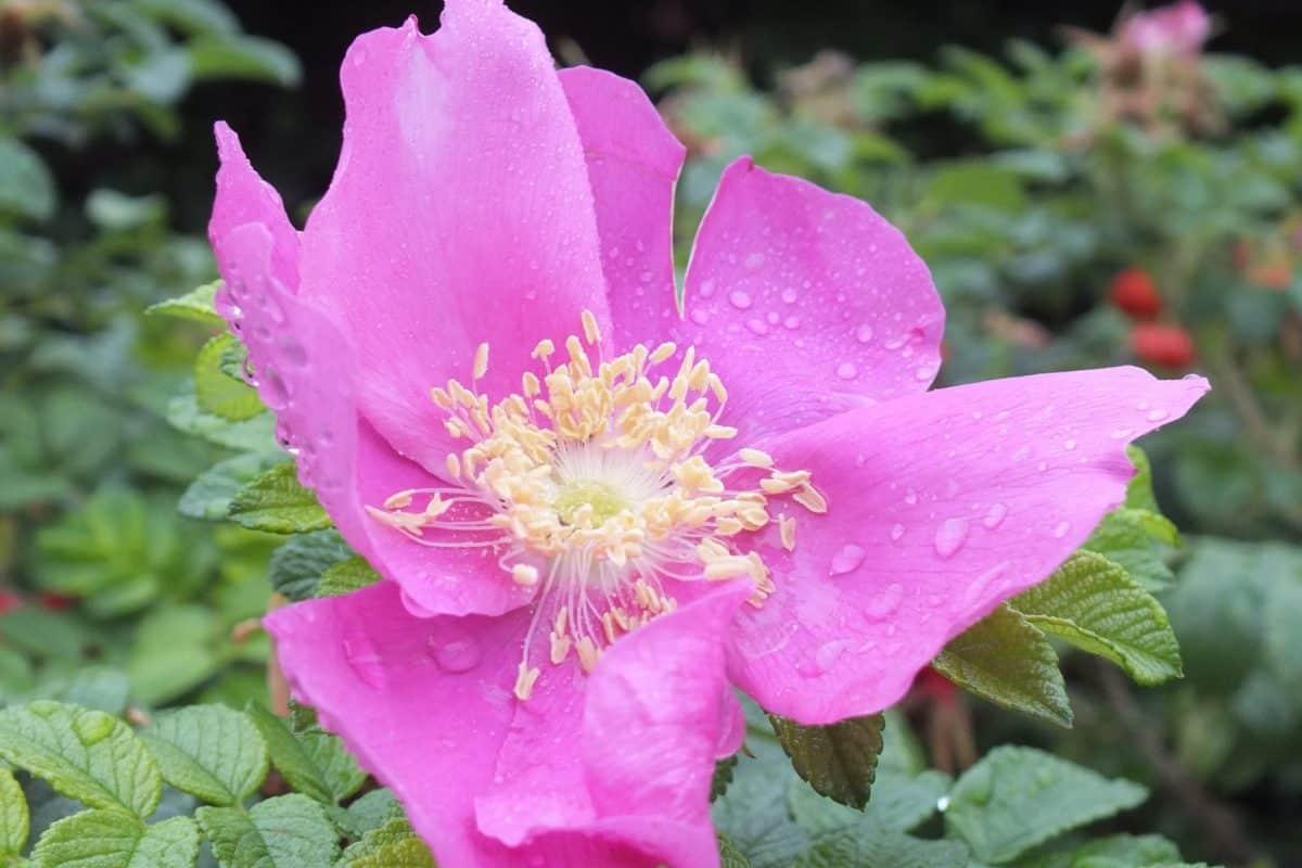 feuille, fleur, nature, macro, été, flore, jardin, rose, plante